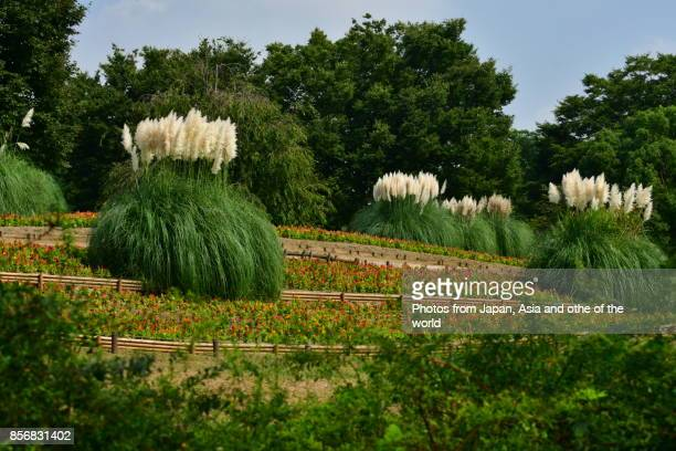 Pampas Grass / Cortaderia selloana