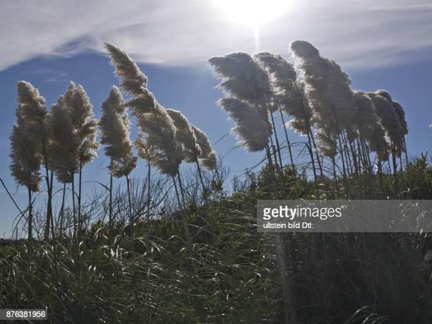 Pampas grass in Punta Colorada on the Atlantic coast of Uruguay near Punta del Este