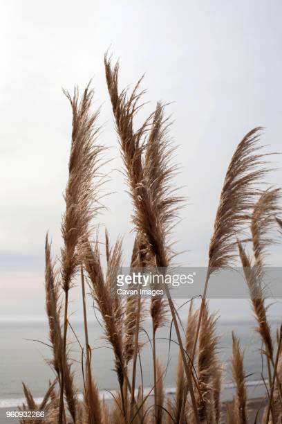 pampas grass on beach against sky - pampa stock-fotos und bilder