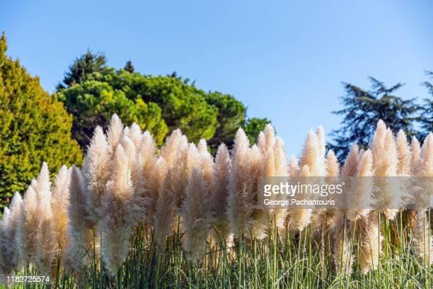 pampas grass (cortaderia selloana) - pampa stock-fotos und bilder