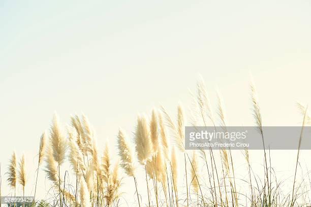 pampas grass - pampa stock-fotos und bilder