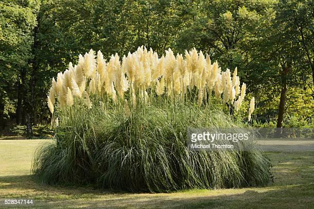 Pampas Grass; Soreze Tarn Midi-Pyrenees France