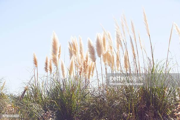 pampas grass swaying in wind against blue sky - pampa stock-fotos und bilder