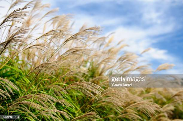pampas grass waving in the wind - 風 stockfoto's en -beelden