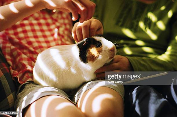 pampered pig - guinea pig stock pictures, royalty-free photos & images