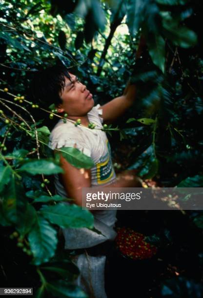 Panama Coffee plantation worker