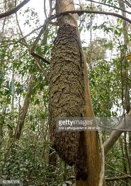 Panama Darien province Filo del tallo Anthill in a tree in Filo del tallo on April 12 2015 in Filo Del Tallo Panama