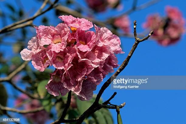 Panama, Las Perlas Island, Contadora Island, Poui Tree Flower.