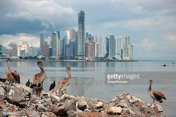 panama, panama city, pelicans on coastline, skyline in background - panama stock pictures, royalty-free photos & images