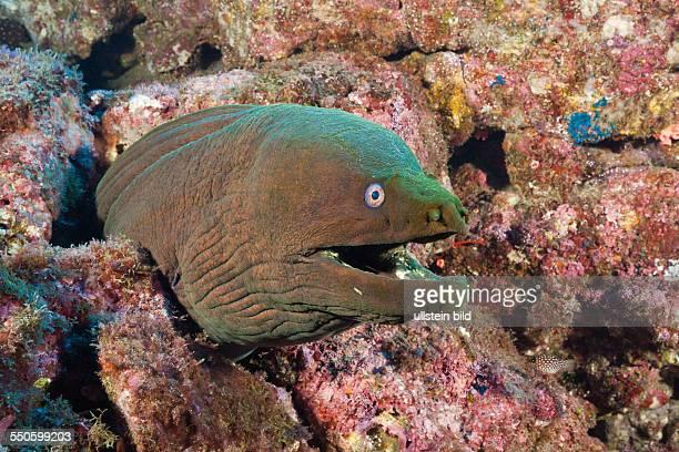 Panamic Green Moray Eel Gymnothorax castaneus San Benedicto Revillagigedo Islands Mexico