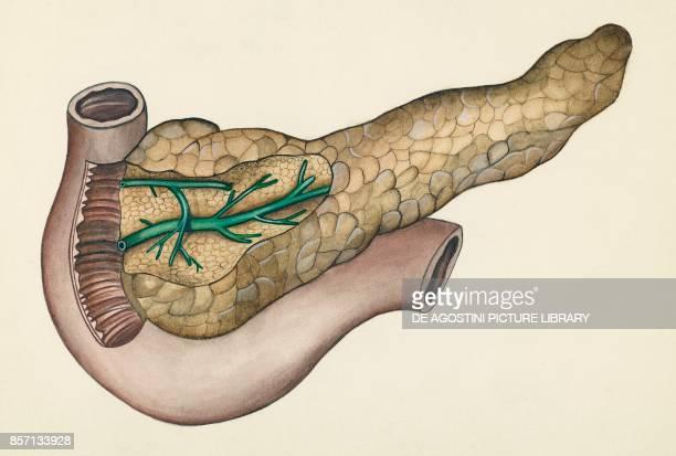 Pancreas human body drawing