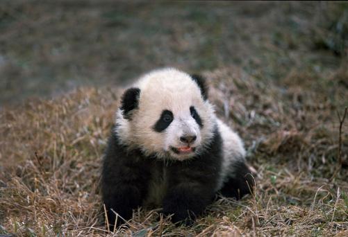 Panda Bear Cub 184881580