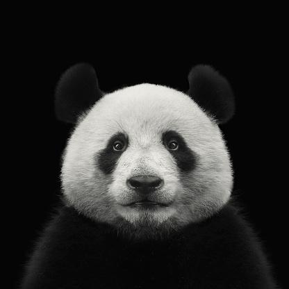 panda bear face isolated on black background 1154796507