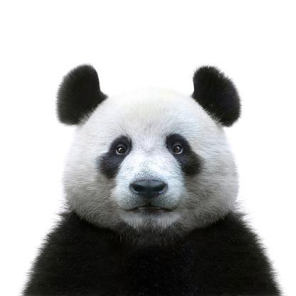 panda bear face isolated on white background 1154796517