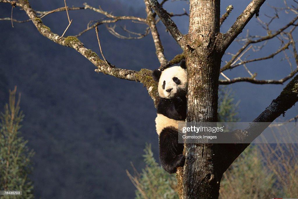 Panda bear in tree , China : Stock Photo
