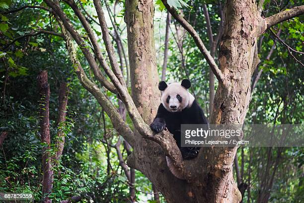 Panda Bear On Tree Trunk