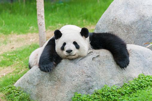 panda bear 1156418364