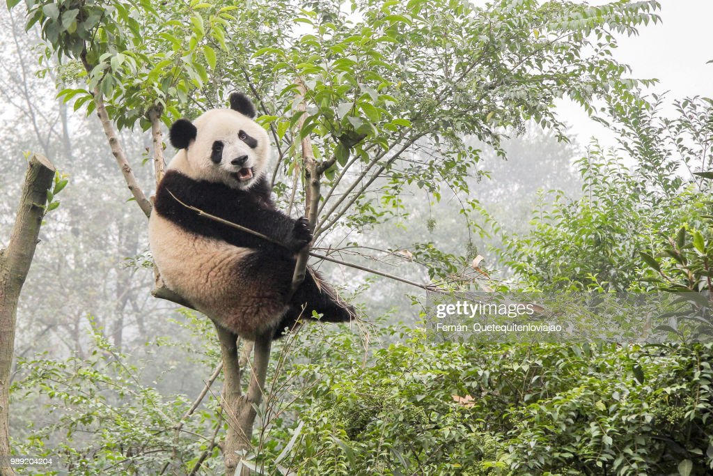 Panda bear : Stock Photo
