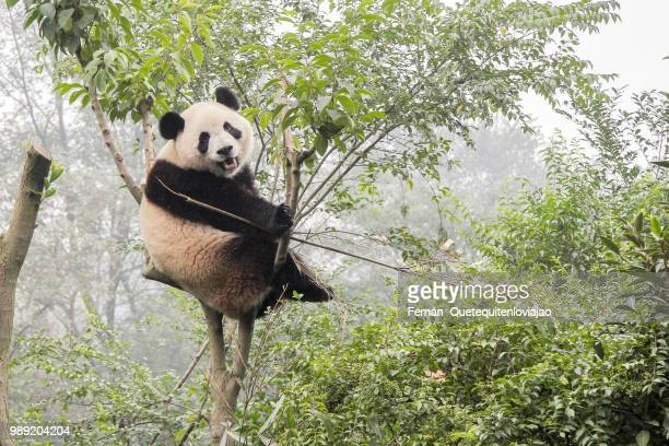 panda bear - giant panda stock pictures, royalty-free photos & images