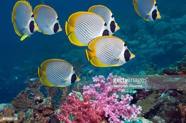 55 Photos Et Images De Poisson Papillon Des Philippines Getty Images