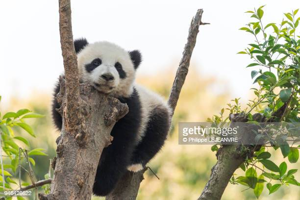 panda cub in a tree - giant panda stock pictures, royalty-free photos & images