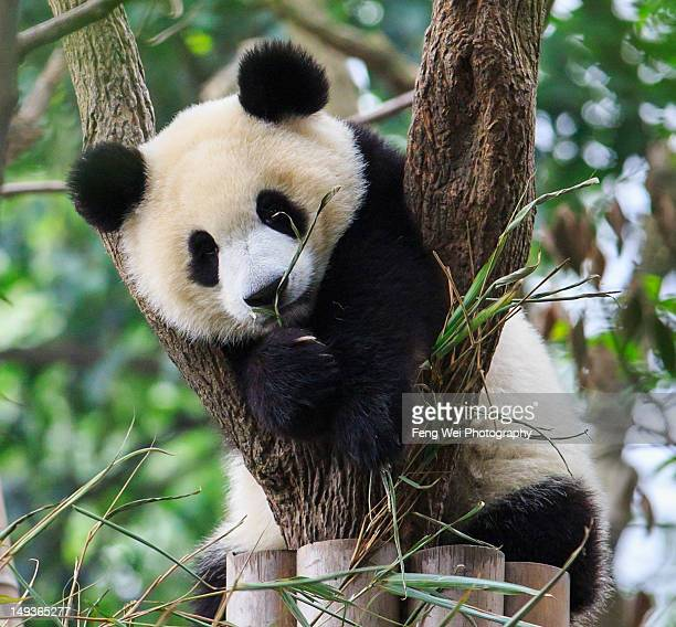 panda cub resting on tree - giant panda stock pictures, royalty-free photos & images