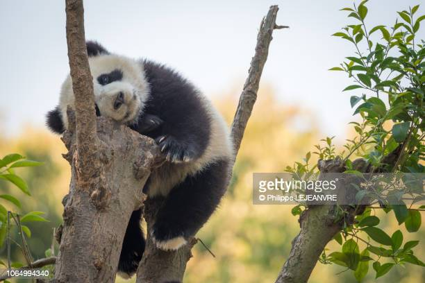 panda cub sleeping in a tree - china east asia stock pictures, royalty-free photos & images