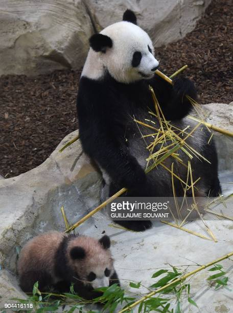 Panda cub Yuan Meng and its mother Huan Huan eating bamboo sticks explore their new enclosure during the cub's first public appearance on January 13...