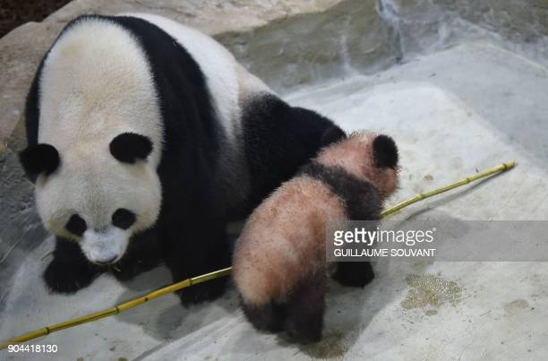 Panda cub Yuan Meng and its mother Huan Huan explore their new enclosure during the cub's first public appearance on January 13 2018 at The Beauval...