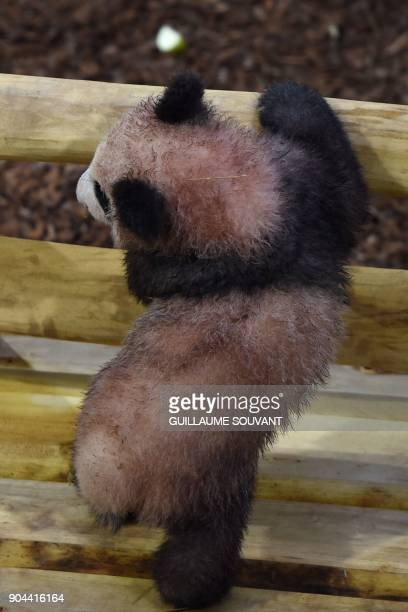 Panda cub Yuan Meng explore its new enclosure during the cub's first public appearance on January 13 2018 at The Beauval Zoo in SaintAignansurCher...