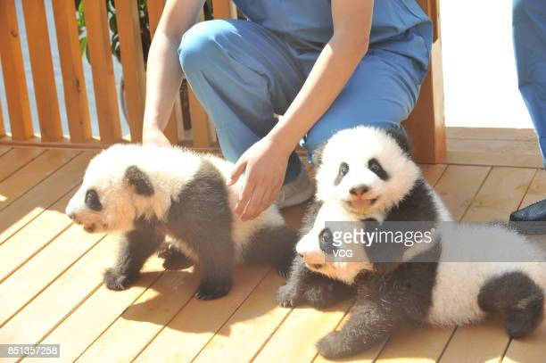 Panda cubs are seen during the launch ceremony of pandas naming campaign at Shaanxi provincial forestry department on September 21 2017 in Xi'an...