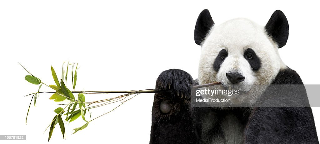 Panda eating bamboo : Stock Photo