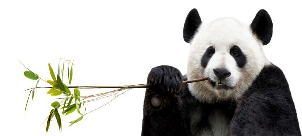 Panda eating bamboo 168791922