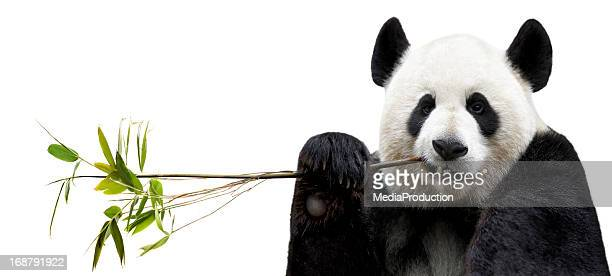 panda eating bamboo - panda animal stock photos and pictures