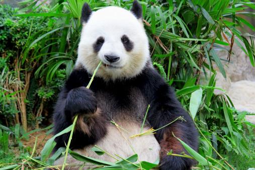 panda eating bamboo 460637863
