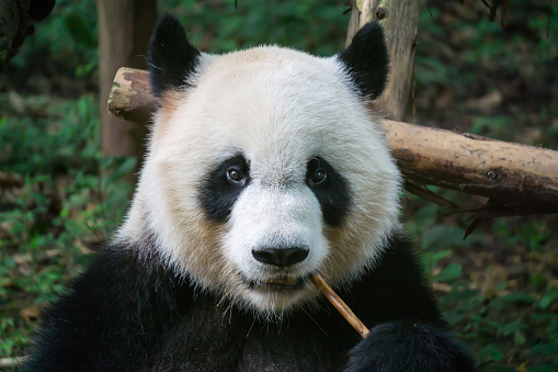 Panda eating bamboo 612635000