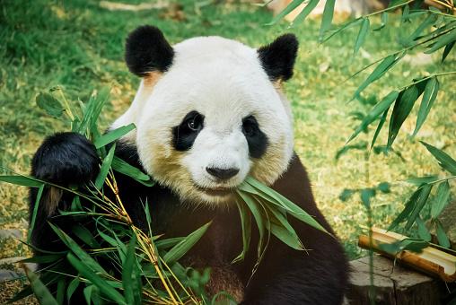 Panda eating bamboo 982127398