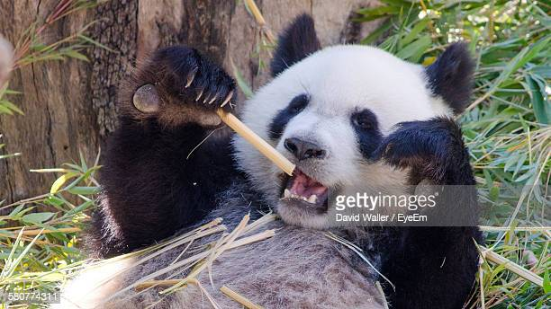 panda eating bamboo shoot in madrid zoo - panda animal stock photos and pictures