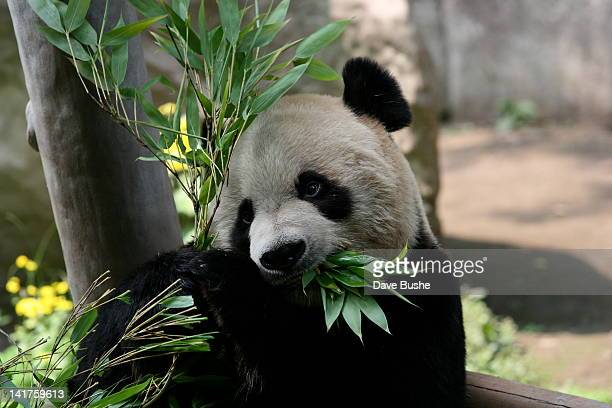 Panda eating leaves