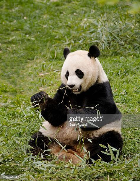 a panda eating leaves - giant panda stock pictures, royalty-free photos & images