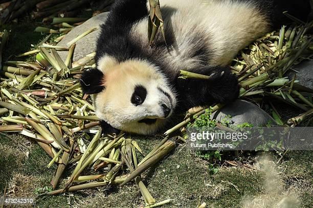A panda eats bamboo at Chengdu Panda Breeding Research Center on May 13 2015 in Chengdu China Feature China / Barcroft Media