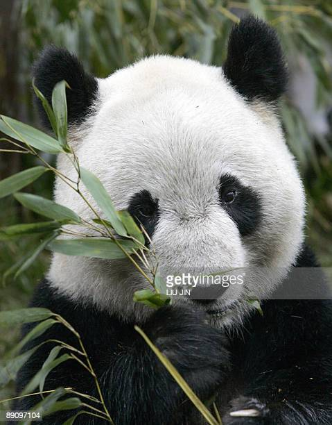A panda eats bamboo at the China Conservation and Research Center for the Giant Panda in the Wolong Nature Reserve in China's southwestern Sichuan...