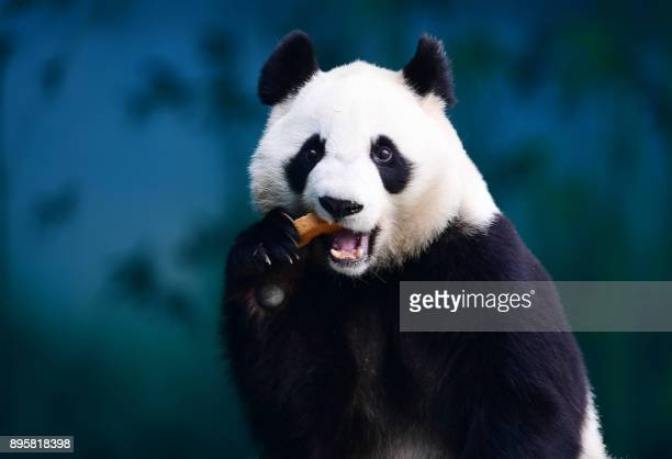 TOPSHOT A panda eats food at the Shenyang Forest Zoological Garden in Shenyang China's northeastern Liaoning province on December 20 2017 / AFP PHOTO...