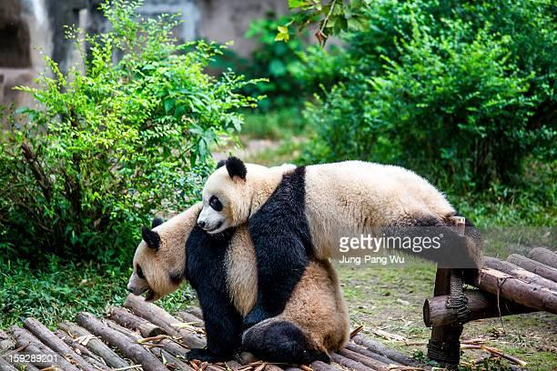 Panda Hugging
