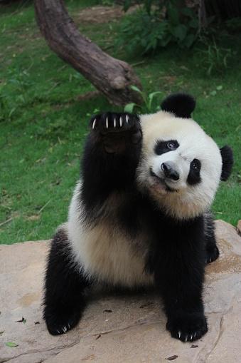 Panda in China 689731740
