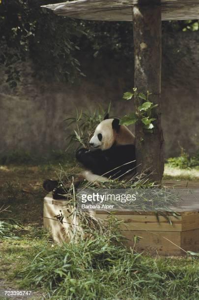 A panda in its enclosure at the Bronx Zoo New York City October 1987