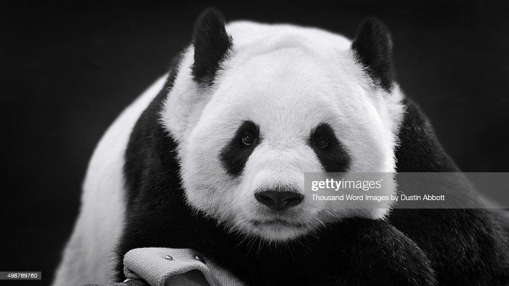 Panda in Repose : Stock Photo