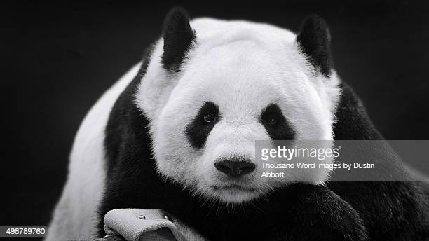 panda in repose - panda animal stock photos and pictures
