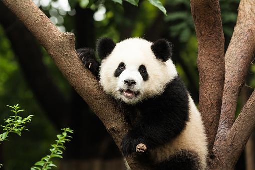 Panda in Tree 513942824