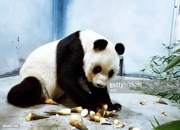 A panda is seen eating bamboo at Xi'an Qinling Wildlife Zoo on October 11 2017 in Xi'an Shaanxi Province of China The panda got skinny several days...